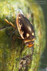 Diving beetle (Platambus maculatus) (Jan Hamrsky) Tags: invertebrates freshwaterinvertebrates insects aquaticinsects waterinsects macrophotography divingbeetle waterbeetle aquaticbeetle coleoptera dytiscidae platambusmaculatus