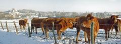 Faverolles-sur-Cher (Loir-et-Cher) (sybarite48) Tags: faverollessurcher loiretcher france vachessalers vache kuh cow بقرة 牛 vaca mucca αγελάδα koe krowa корова inek neige schnee snow ثلج 雪 nieve χιόνι neve sneeuw śnieg снег kar donjon dungeon bergfried برج محصن 城堡主塔 mazmorra μπουντρούμι torrione keep οχυράκρύπτηπύργου hiver winter sinter شتاء 冬天 invierno χειμώνασ inverno 冬 zima зима kış