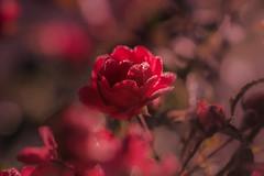 gourmandise (christophe.laigle) Tags: rose rouge christophelaigle drops macro xf60mm nature gouttes fuji flower fleur pluie xpro2 droplets red flickrunitedaward