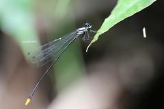 Odonata (Phil Arachno) Tags: thailand asien asia chiangmai arthropoda insecta odonata
