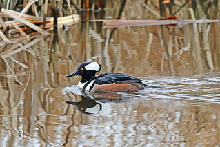 Hooded Merganser Drake 18-0210-3268