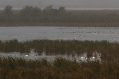 Dixon_JB_477_3991 (Joanne Bouknight) Tags: dixonwaterfowlrefuge illinois mist morning observationtower rain storm thewetlandsinstitute muteswans