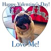 """Will you bee🐝my Valentine?""💝-PugsleyLuigi  #pug #dog #bee #valentinesday #heart #flowers #chocolate #valentine #love #loveme #happyvalentinesday #kisses (TheZenOfPugsleyLuigi) Tags: happyvalentinesday kisses pug dog bee valentinesday heart flowers chocolate valentine love loveme"