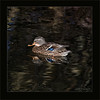 KUS850-3115 (Weinstöckle) Tags: vogel stockente enz