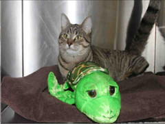 A698695 (yycpetrecovery) Tags: cat cas tabbywhite tabby foundsighted
