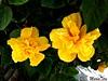 Flores amarillas... En el Día del Amor y la Amistad (MariaTere-7) Tags: flores amarilla avcostanera lima perú maríatere7 díasanvalentín díadelamorylaamistad