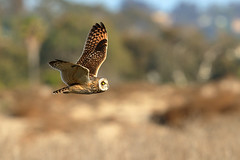 Short-eared Owl (3258) (Bob Walker (NM)) Tags: bird raptor flying owl shortearedowl asioflammeus seow sandiego california usa