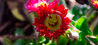 Can you see the smile on mom's Common Daisy?