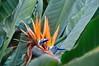 """Fiore di """"Strelitzia reginae"""" (costagar51) Tags: mondello palermo sicilia sicily italia italy piante fiori"""