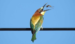 Bee Eater (Merops apiaster) 8-4-17 #8 (Brian Carruthers-Dublin-Eire) Tags: coraciiformes meropidae merops apiaster beeeater guêpier deurope bienenfresser abejaruco común gruccione europeo bijeneter meropsapiaster guêpierdeurope abejarucocomún gruccioneeuropeo bird wildlife animal outdoor animalia nature portugal sky feeding insecta insect