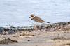 Ringed plover / Sandlóa (Charadrius hiaticula) (thorrisig) Tags: 03092017 bakkatjörn charadriushiaticula dýr fuglar ringedplover sandlóa vaðfugl ungi animals sigurgeirsson sigurgeirssonþorfinnur dorres birds bird iceland ísland island icelandicbirds íslenskirfuglar thorrisig thorfinnursigurgeirsson thorri þorrisig thorfinnur þorfinnur þorri þorfinnursigurgeirsson