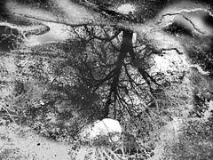 puddle (nika.vero) Tags: tree puddle bw reflection blackandwhite blackwhite monochrome experiment experimental water trees growing wondering