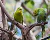 DSC_0141 (ccast5) Tags: butterflyworld wildlife nature bird d90 budgie