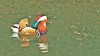 Mandarin duck, 'male', 260218, (11)f (alanblunden) Tags: wildbird riverwitham bird alongtheriver wildlife grantham wild queenelizabethparkhermajestyqueenelizabeththequeenmother wildfowl park river mandarinduck winter winter201718 february february2018 mandarinduckmale