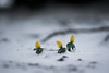 Surviving (A.Dissing) Tags: winter snow frozen eranthis exposure enjoy explore elements end yellow young you jylland a7ii anders a7 amazing artistic a7m2 sony scape denmark dissing dark danmark day dead detail damage dope down green gray horsens light unique white weather wild quiet