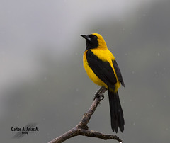 Turpial montañero- Icterus chrysater- YELLOW- BACKED ORIOLE (Carlos Alberto Arias A.) Tags: manizales caldas colombia icterus chrysater yellow backed oriole bird naturephotography aire libre nature turpial montañero canon 7d mark ii wildlife photography lluvia rain flickr birdphotography