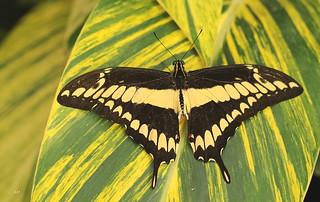 Papilio thoas / King Swallowtail / Voilier géant
