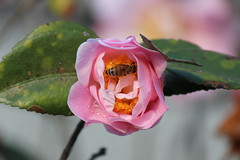 Camellia (Lyao_1) Tags: camellia canon eos 650d flower bee tree green photo plant photography taiwan nature colorful