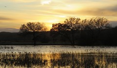 Golden Sunset (Patricia Henschen) Tags: socorro newmexico bosquedelapache nationalwildliferefuge sanantonio wetland clouds mountain mountains nwr riogrande river winter sunset waterfowl