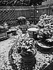 My winter garden Black and White (brianarchie65) Tags: garden mygarden monochrome blackandwhite blackandwhitephotos blackandwhitephoto birdbath birdfeeder plants ice snow teapot flickrunofficial flickruk flickr ukflickr unlimitedphotos ngc canoneos600d brianarchie65 winter iphonese