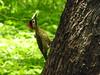 Pica-pau-verde-barrado (Alexandre Marino) Tags: picapauverdebarrado colaptesmelanochloros pássaros birds aves