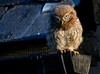 A little one (davy ren2) Tags: owl little d500 nikon photograthy wildlife nature morning sunlight
