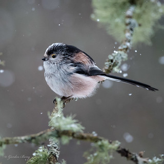 Long Tailed Tit 04-Mar-18 G 001