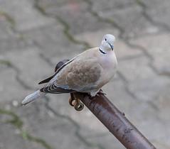 pigeon (raymond_zoller) Tags: canon lightroom taube vogel bird gołąb paloma pigeon голубь птица