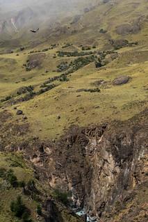 Condor flying above Valle Aviles