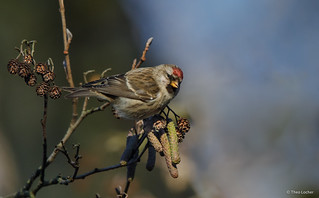 Grote Barmsijs - Common Redpoll - Carduelis flammea -2794