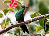 IMG_5821 Violet-fronted Brilliant (suebmtl) Tags: ecuador bird birding napoprovince violetfrontedbrilliant baeza heliodoxaleadbeateri hummingbird coth5 ngc