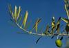 Peace, life ... (Edgard.V) Tags: olivier olive tree oliva oliveira paz vida paix pace vita vie fruit fruta civilisation méditerranée méditerraneo mediterranean sea