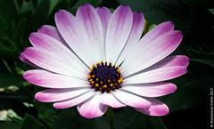 Osteospermum cultivar (Wonder Kitsune) Tags: asteraceae aster daisy osteospermum flower ornamentalplant africanplant africa purple