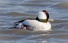 Bufflehead Drake (tresed47) Tags: 2017 201711nov 20171129newjerseybirds birds bufflehead canon7d content ducks ebforsythenwr fall folder newjersey november peterscamera petersphotos places season takenby us