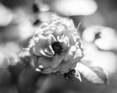 "A Rose by any other Name (Piton Photography) Tags: black white ""black white"" bw monocrome blackandwhite blackwhite flowers flora garden bloom flower casa ""depth field"" depth field depthoffield bokeh film efke100 ""efke 100"" darlot petzval brass lens ""brass lens"" large format ""large format"" lf wisner ""wisner 4x5"" technical wood"