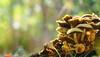 Mushroom heights (Ron and Co.) Tags: fungi fungus mushroom toadstool bokeh light woodland horsfordwoods