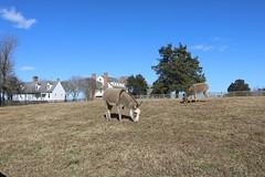donkeys at chippokes plantation state park (vastateparksstaff) Tags: animals farm donkeys fdh