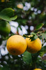 Low Hanging Fruit (HikerDude24) Tags: lemons meyerlemons fruit citrus nikon d5100 nikond5100 50mm