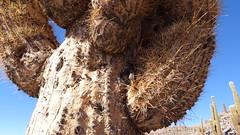 126 alter Kaktus verliert Haar - old cactuses lose hair (roving_spirits) Tags: chile atacama atacamawüste atacamadesert desiertodeatacama désertcôtier küstenwüste desiertocostero coastaldesert