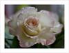 Fragile (Harald52) Tags: rose blüte pflanze natur tropfen koenigin der blumen