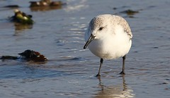 Sanderling 170118 (3) (Richard Collier - Wildlife and Travel Photography) Tags: wildlife naturalhistory british birds britishbirds dorset dorsetwildlife sanderling coth5 ngc