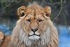 African lion - Olmense Zoo (Mandenno photography) Tags: dierenpark dierentuin dieren animal animals african lion lions olmense olmensezoo olmen belgie belgium bigcat big cat zoo leeuw leeuwen