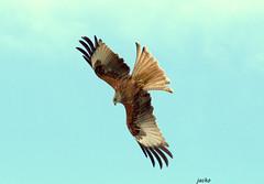 Kite in flight (Andrew-Jackson) Tags: birdofprey birds wildlife nature