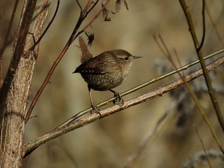 Winter Wren (Troglodytes hiemalis) -explored