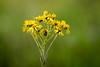 Yellow Fleur (Marcus Hellwig) Tags: blume blüte gelb grün flower fleur yellow natur nature naturaufnahme naturfoto nahaufnahme natura naturalleza wiesenblume