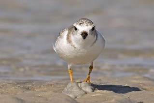 Bunch Beach: Piping Plover Full-frontal!