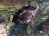 Lionfish (Pterois volitans), Hoga Island, Wakatobi NP (Niall Corbet) Tags: indonesia sulawesi hoga wakatobi operationwallacea opwall nationalpark coral reef tropical lionfish pteroisvolitans