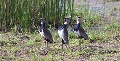 Vanneau téro (Sylvain Nadeau) Tags: colombie oiseaux
