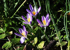 DSC_8802 Crocus (PeaTJay) Tags: nikond750 sigma reading lowerearley berkshire macro micro closeups gardens outdoors nature flora fauna plants flowers crocus