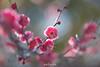 20180210-IMG_3682 (nut_cookie) Tags: flower flowers macrophotography nature tree floral bloom ume plum plumflower plumblossom